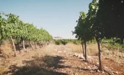 HaYovel Israel - ¿Una vid común o una muestra de la redención de un pueblo en su tierra?