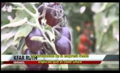 Los tomates en Israel... también son negros